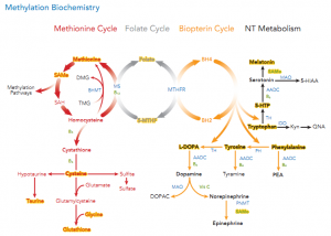 methylation-cycle